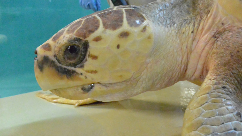 boyles-sea-turtle-rescue-south-carolina-aquarium
